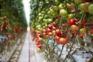 Truss tomatoes at Sundrop.